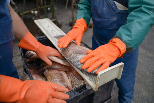 Man Working In Fish For Sale At Market