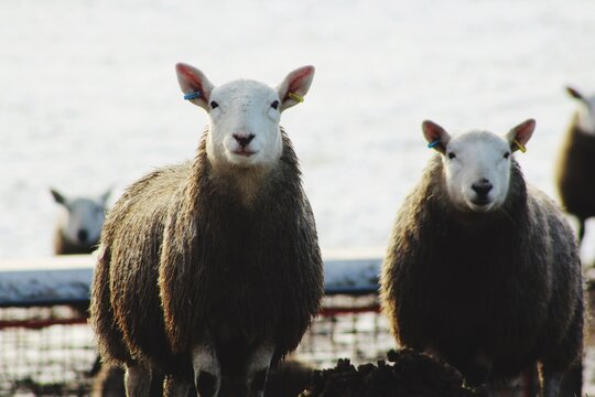 Two Sheep In Winter