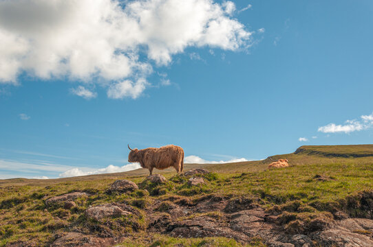 Grazing Highlander Cow In The Midst Of Green Hills, Scotland