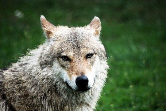 Portrait Of Wolf In A Field