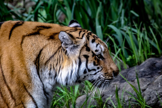 Close-up Of A Tiger In Zoo
