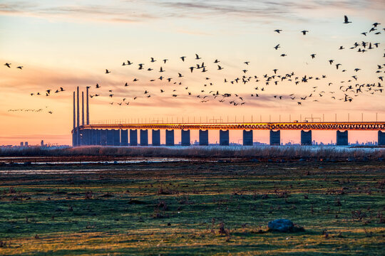 Oresund Bridge sundown with a flock of flying birds crossing the scene by the sea. Oresundsbron massive architecture at sunset with Bunkeflo Strandangar nature reserve where seabirds dwell and migrate
