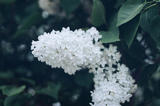 Close-up Of A Blooming White Lilac Flower.