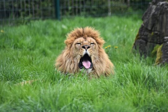 Lion In A Zoo