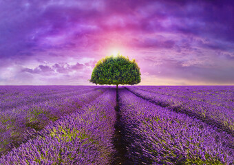 provence - tree in the beautiful lavender field