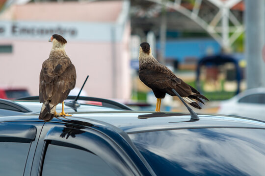 Hawks Perching On A Car