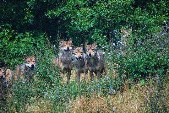 Pack Of Wolves In The Forest