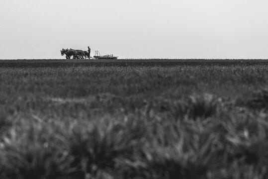 mule team in the field tilling soil