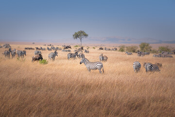 Beautiful shot of a group of zebras in The Maasai Mara National Reserve, Kenya, Tanzania