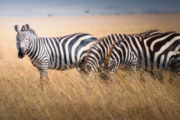 Beautiful shot of wild zebras in The Maasai Mara National Reserve, Kenya, Tanzania