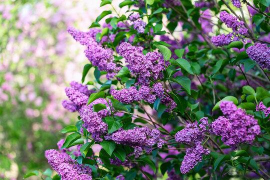 Spring Lilac branch, spring tree. Shallow DOF