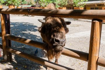 Fototapeta Buffalo head close-up