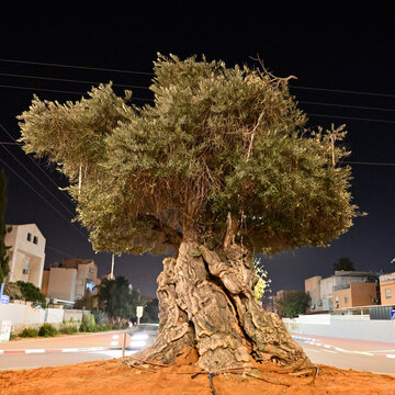 olive tree in the square