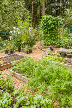 Issaquah, Washington State, USA. Garden full of raised bed gardens, including red ace beets (foreground), carrots, potatoes (background left), pole green beans and kale sprouts in a woodsy area.