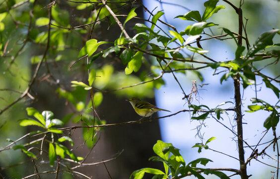 White-Eyed Vireo Bird