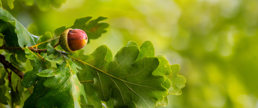 Banner. Oak branch with green leaves and acorns on a blurred background