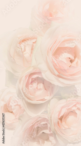 Sweet colored pink roses in a soft style for the background . Valentine's day, wedding, mother's day, romantic concept