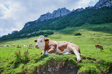 sleeping cow in front of the famous Kampenwand, Bavaria, Germany Wall mural