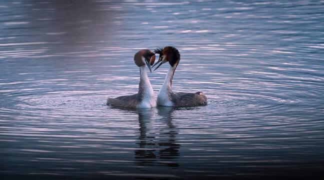 coppia di svassi maggiori (svasso maggiore) nel rituale della danza di corteggiamento al tramonto sul lago di ripasottile