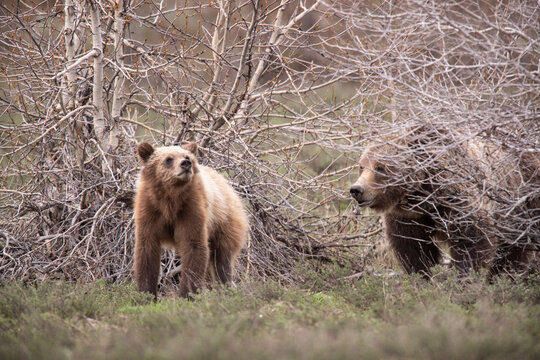 USA, Wyoming, Grand Teton National Park. Sow grizzly with cub.