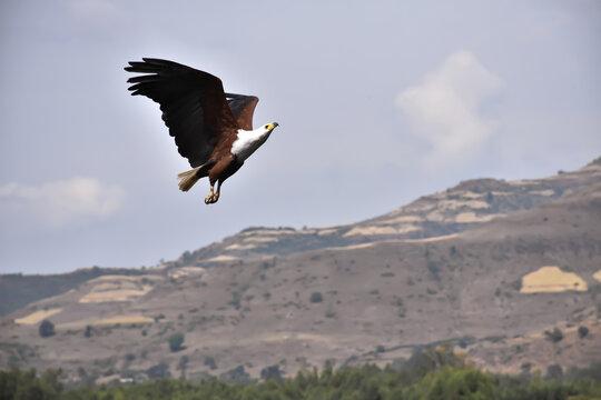 Absolutely Stunning Fish Eagle, Mid Flight, Near Awash Falls In Ethiopia.