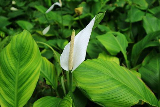 Beautiful White Flamingo Flower among Vibrant Green Foliage