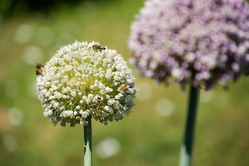 Fototapeta Kwiaty czosnku w ogrodzie, owady obraz