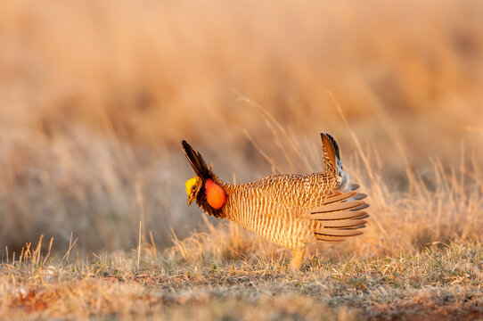 "Lesser Prairie Chicken (Tympanuchus pallidicinctus) performing dancing or ""drumming"" on a lek (mating display), in northern Oklahoma, USA."