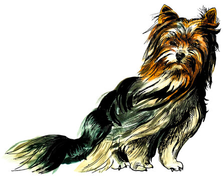 Yorkshire terrier drawn in watercolour and ink