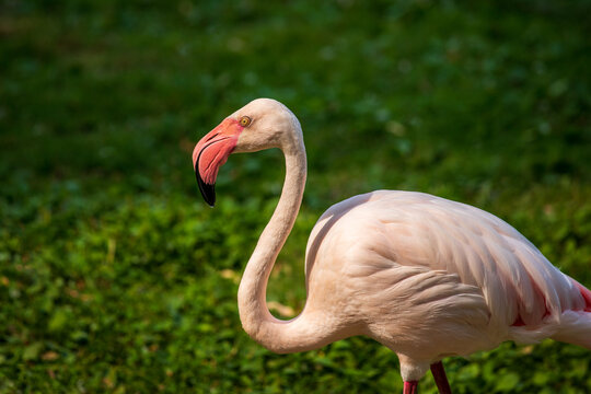 Full body of male flamingo bird on the meadow