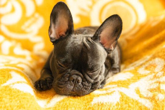 French Bulldog Napping