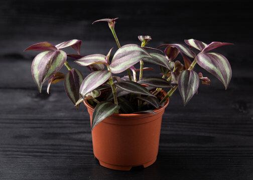 Tradescantia Zebrina Indoor House Plant growing in plastic pot