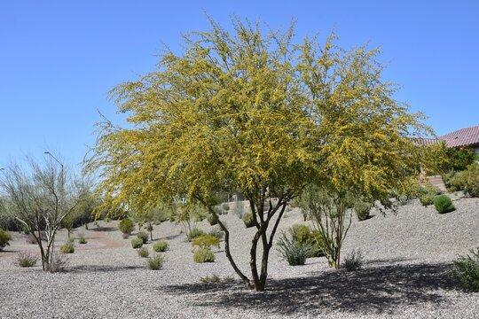 Blooms on bark of a sweet acacia tree Acacia farnesiana
