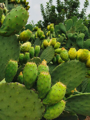 Canvas Prints Cactus Vertical cactus photo, Green yellow photos, Prickly fig, prickly pear and chives