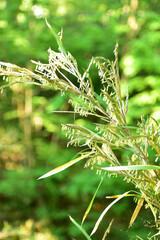 Fototapeta 笹の花