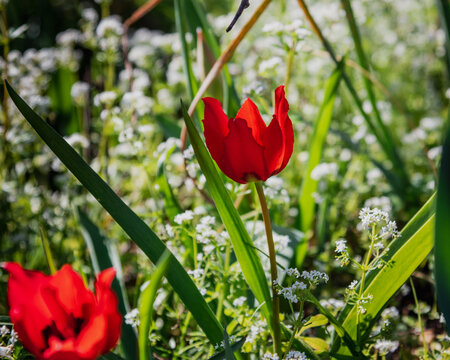 red Tulipa flower blooming in the wild