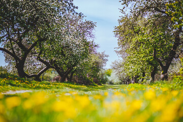 Wall Mural - Ground level view of a lush dandelion in an apple orchard in sunny weather.