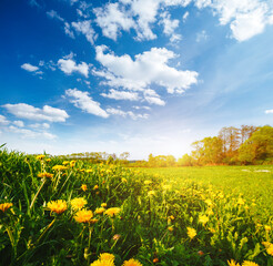Wall Mural - Spring field with yellow dandelions in bright sunny day.