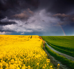 Wall Mural - Ominous stormy clouds over fresh field with yellow rapeseed. Rural area in springtime.