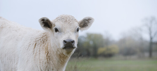 Wall Mural - Charolais beef calf portrait banner with Texas field blurred background.