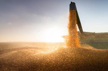 Fototapeta Combine harvester in evening action obraz