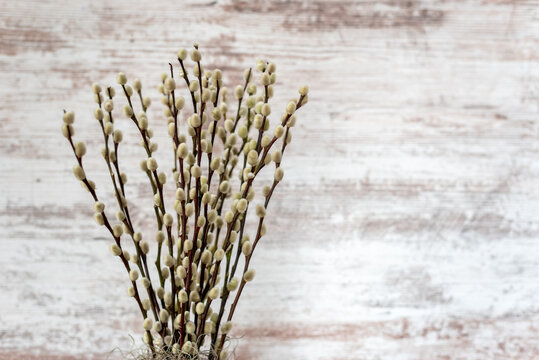Pussy willow branches on a distressed white barnwood background
