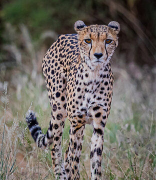 Very thin female cheetah walks through bush in Kenya, hunting