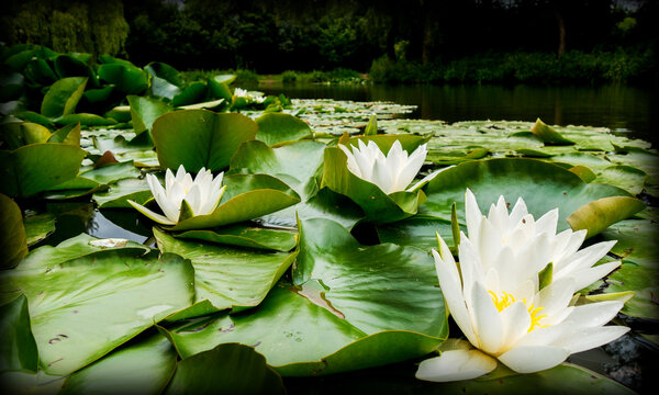 flower, lotus, water, lily, nature, pond, plant, pink, blossom, white, green, waterlily, flora, leaf, bloom, lake, beautiful, yellow, beauty, water lily, aquatic, summer, garden, petal, flowers
