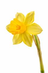 Printed kitchen splashbacks Narcissus flower or narcissus isolated on white background cutout