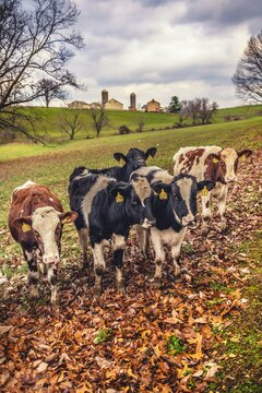 Cows on a Lancaster County farm
