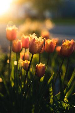 Orange tulips in sunset.