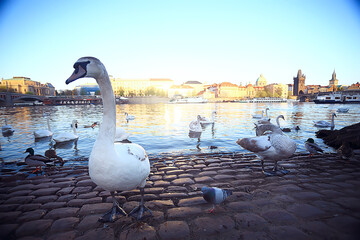 swans in Prague on the river landscape / czech capital, white swans on the river next to the Charles Bridge, Czech Republic, tourism