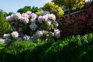 Fototapeta wiosenny ogród rodondrenowy obraz
