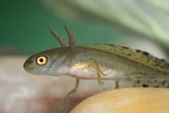 Marbled newt larva at the bottom of a pond